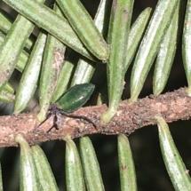 Grüne Tannenhoniglaus